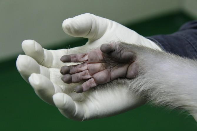 붉은털원숭이와 연구원이 장갑낀 손을 마주했다. 엄지와 다른 손가락을 마주할 수 있다는 영장류만의 특징 외에도 원숭이와 사람은 많은 공통점을 발견할 수 있다. - 국가영장류센터 제공